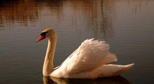 Łabędź, ptak kojarzący się wszystkim z miłością (Kontakt 24 / barma)