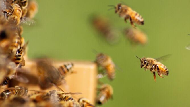 Pszczoły giną. By je ocalić, stworzyli mapę ich zagęszczenia na świecie