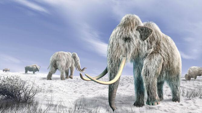Mają krew mamuta. Teraz chcą go sklonować